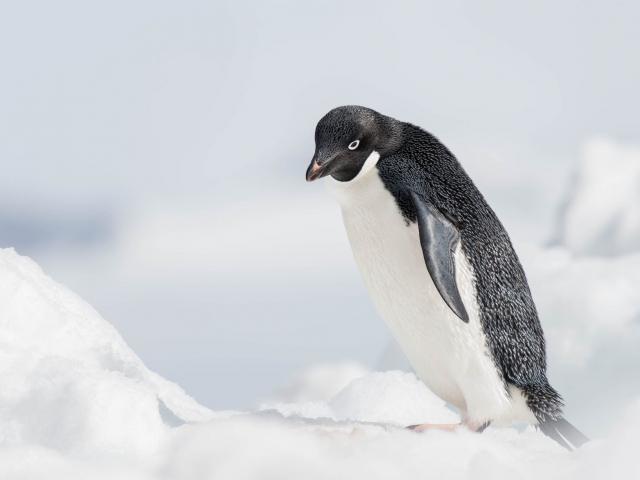 Adelie Penguin - Feeling Tired