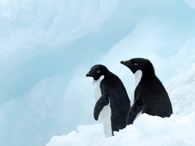 Adelie Penguin - Looks Cold