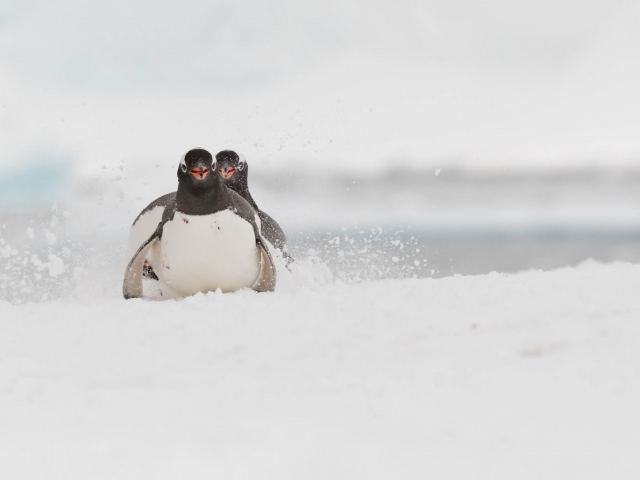 Gentoo Penguin - Toboggan Fun