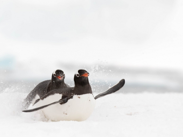 Gentoo Penguin - Trying to Catch The Girl