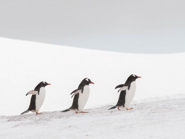 Gentoo Penguin - Three In Line