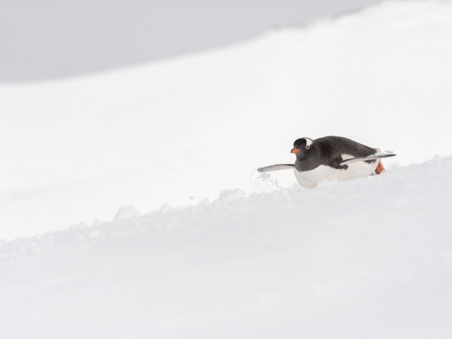 Gentoo Penguin - Ready to Take Off