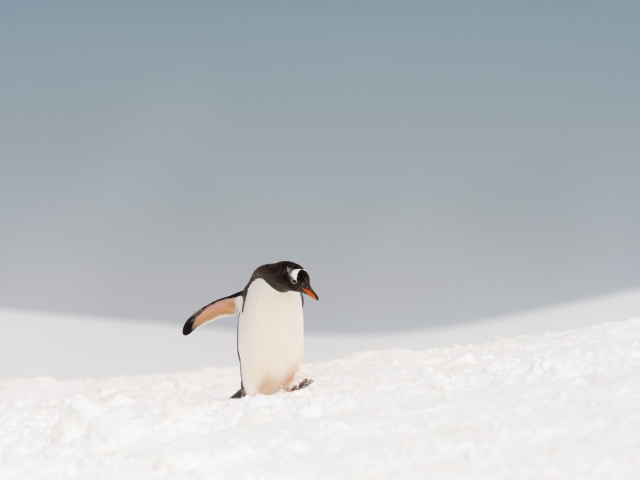 Gentoo Penguin - Watch Your Step