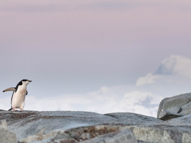 Chinstrap Penguin - Rock Waddle