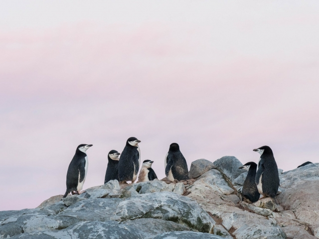 Chinstrap Penguin - Rock Top Meeting