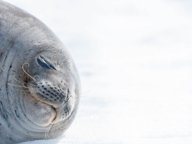 Weddell Seal - Impeccable Snooze