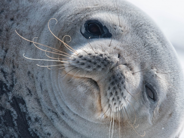 Weddell Seal - You Cant Be Serious
