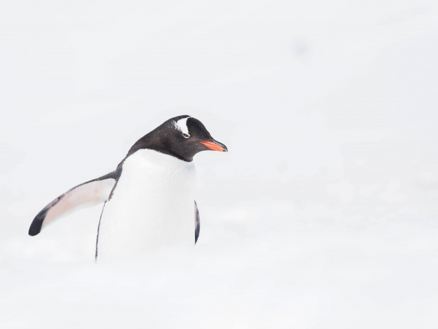 Gentoo Penguin - Out of the Snow