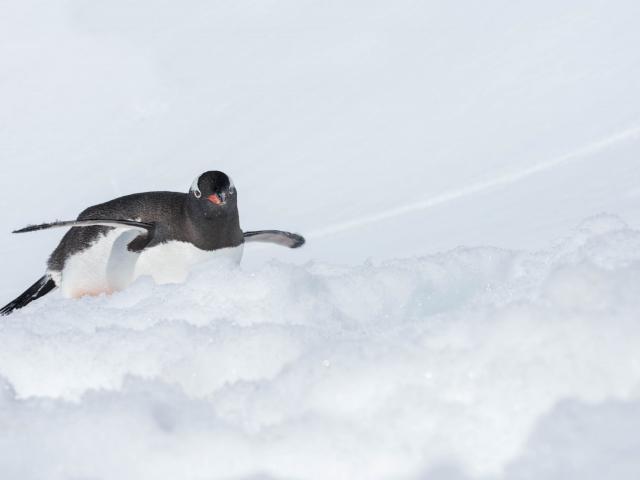 Gentoo Penguin - Belly Skater