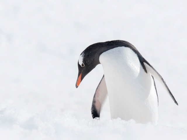 Gentoo Penguin - Melancholy
