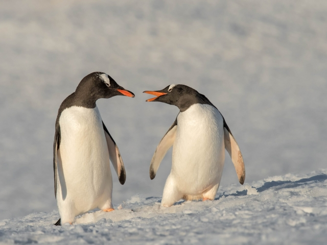 Gentoo Penguin - Stay Back