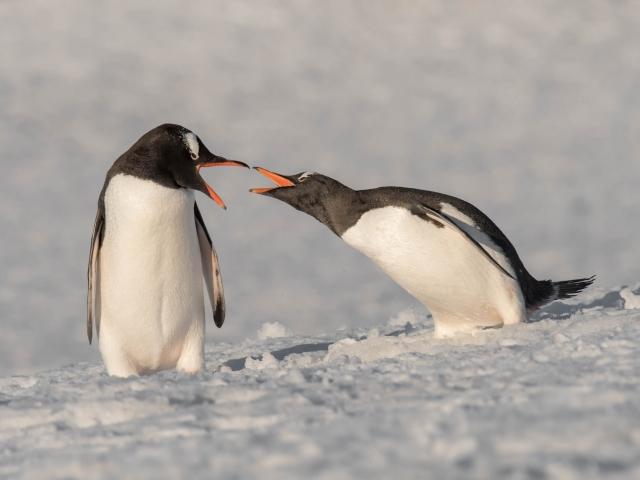 Gentoo Penguin - Beaks At Dawn