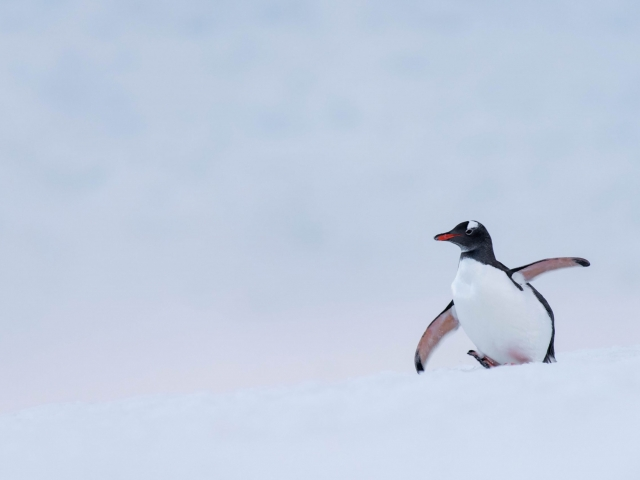 Gentoo Penguin - Making a Run For It