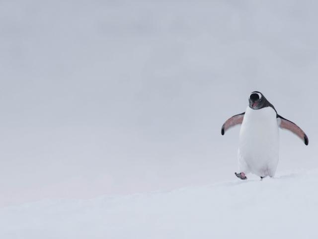 Gentoo Penguin - On The Run