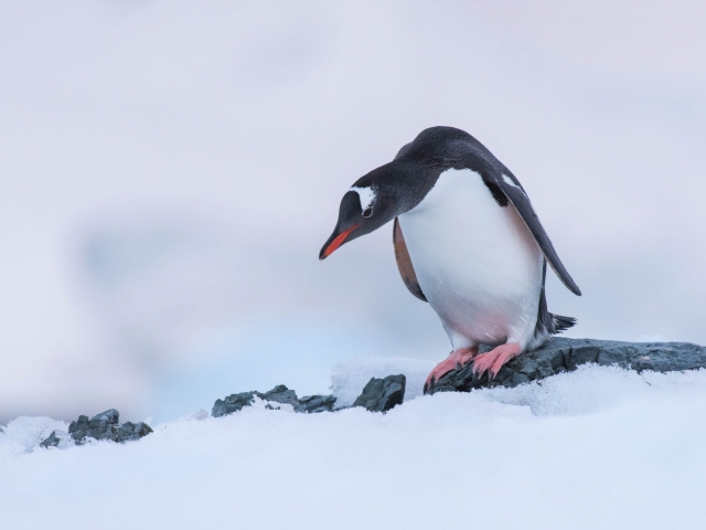 Gentoo Penguin - My Feet Are Cold
