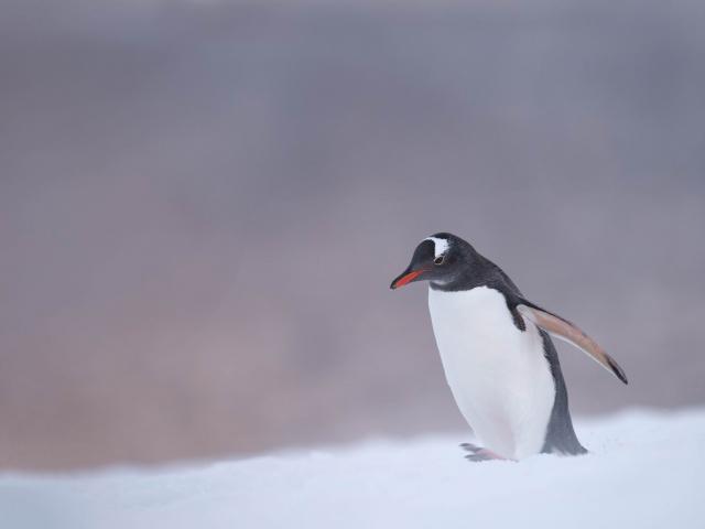 Gentoo Penguin - Evening Light