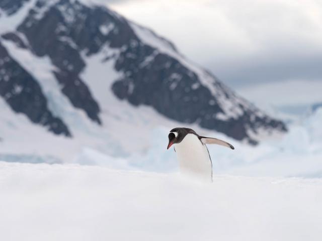 Gentoo Penguin at Darco Island