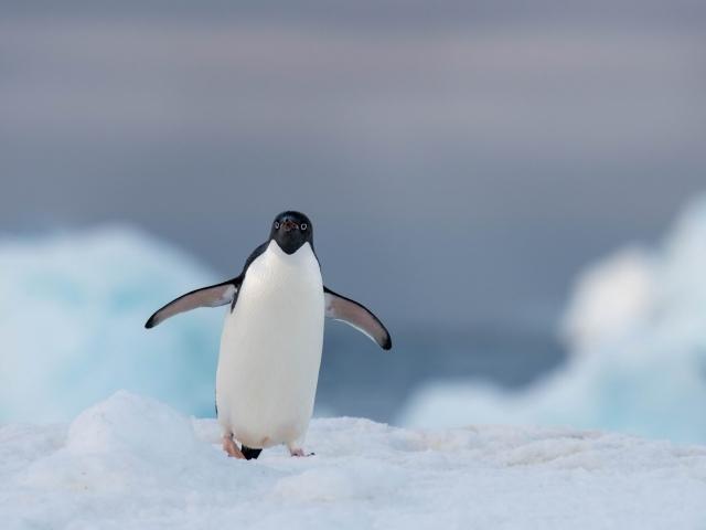 Adelie Penguin - Blue Light
