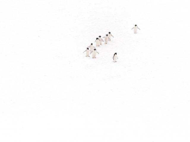 Adelie Penguin -  Wait For Me