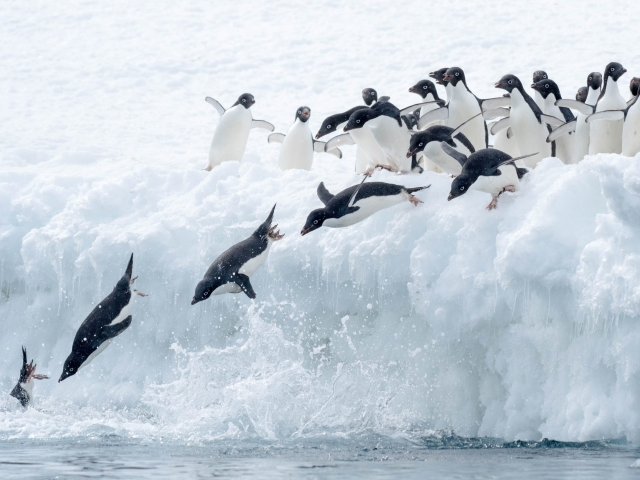 Adelie Penguin - Syncronised Diving