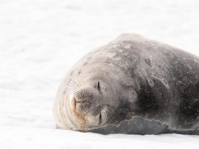 Weddell Seal - Sleep Easy