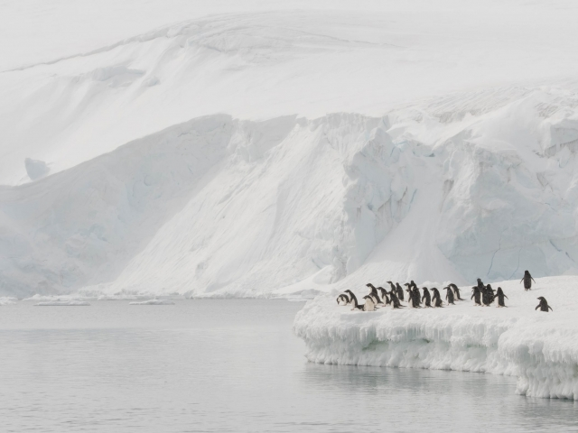 Adelie Penguin at Joinville Island