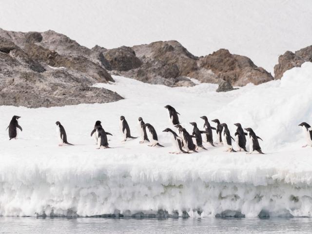 Adelie Penguin - Follow The Leader