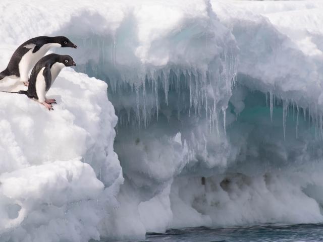 Adelie Penguin - After You