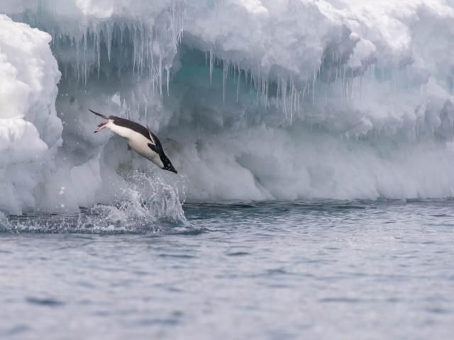 Adelie Penguin - Solo Dive