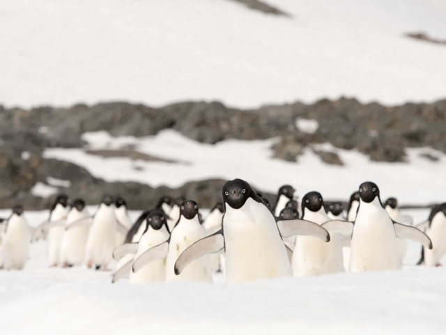 Adelie Penguin - The Pied Piper