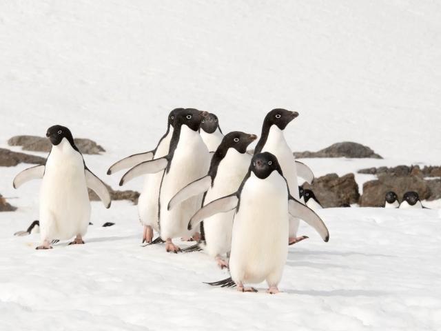 Adelie Penguin - Get In Line