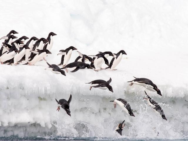 Adelie Penguin - Over The Edge