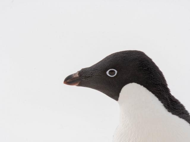 Adelie Penguin - Heads Up