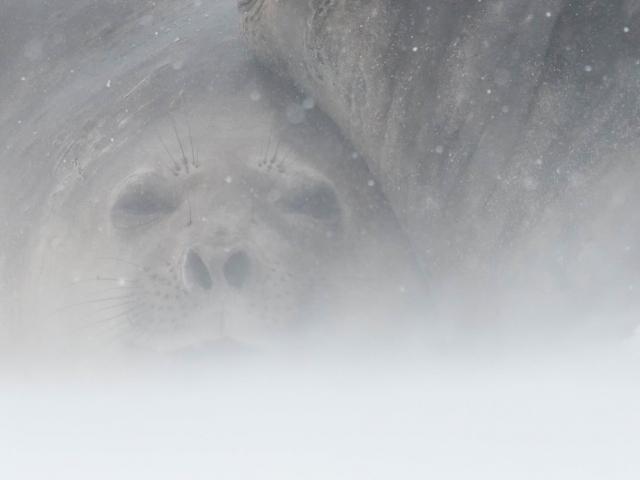 Elephant Seal - Hunkered Down