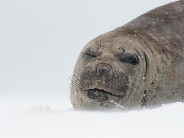 Elephant Seal - Lazy Eye