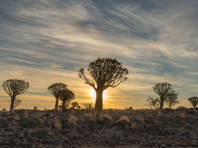 Quivertree Forest - Sunset Glow