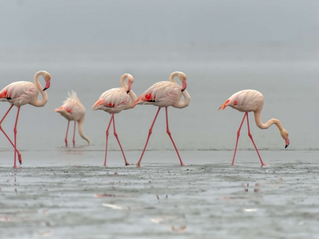 Flamingo - Family Group