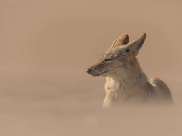 Jackal - Relaxing in the Wind