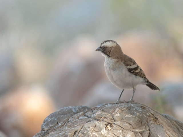 White-browed Sparrow Weaver - On Rock