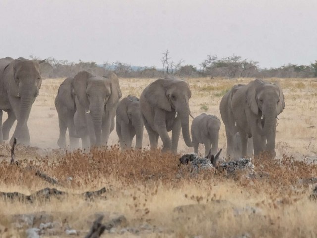 African Bush Elephant - Here We Come
