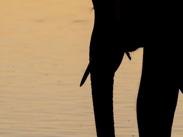 African Bush Elephant - Trunk Silhouette