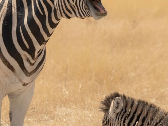 Burchell's Zebra - Its The Way You Tell Them
