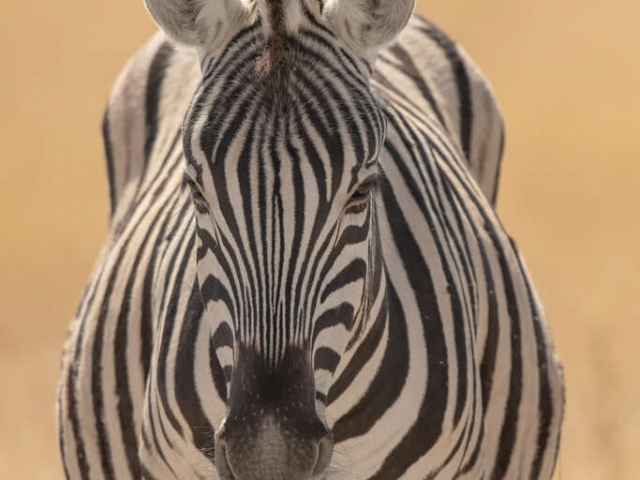 Burchell's Zebra - Keep Straight On