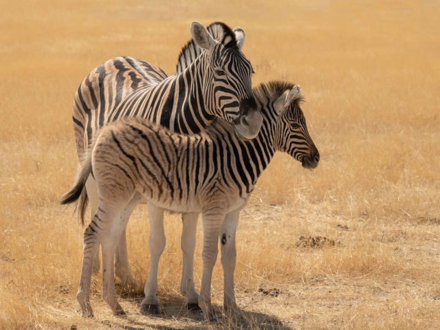 Burchell's Zebra - Mother and Foal