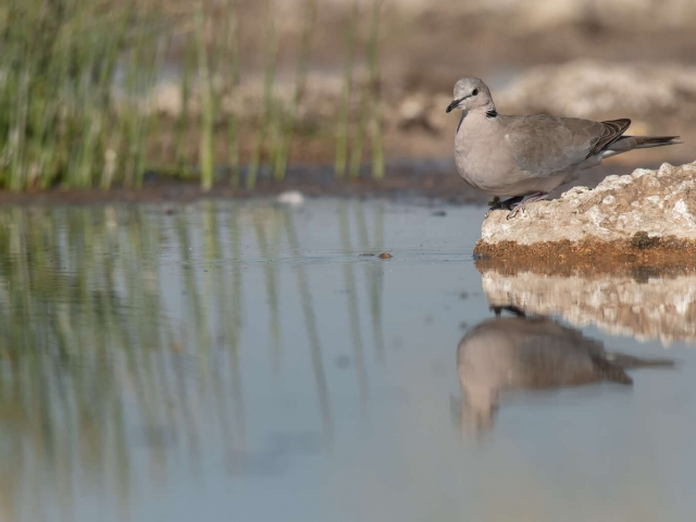 Collared Dove - Reflection