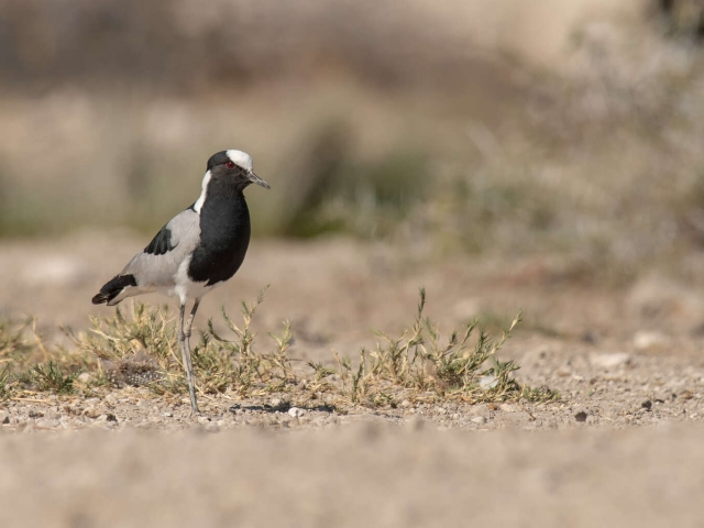 Blacksmith Lapwing - In the Scrub