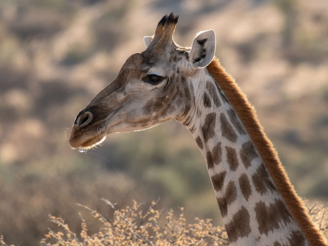 Namibian Giraffe - Head and Shoulders Above the Rest