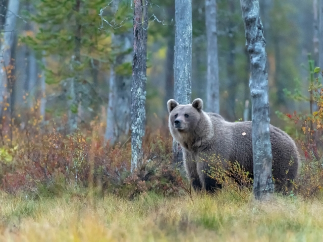 Eurasian Brown Bear - Watchful Eye