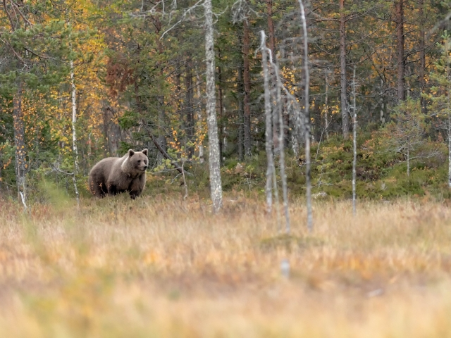 Eurasian Brown Bear - Out of the Woods