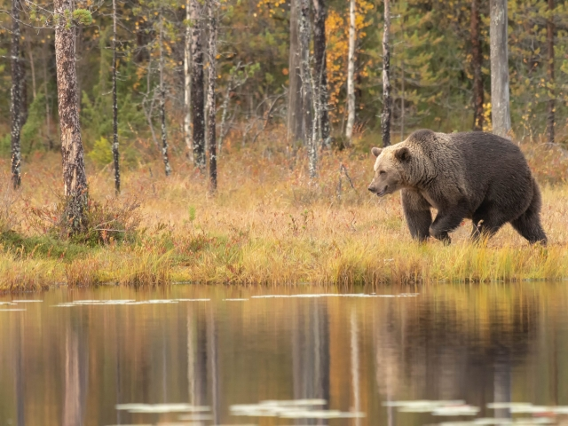 Eurasian Brown Bear - Lakeside Stroll